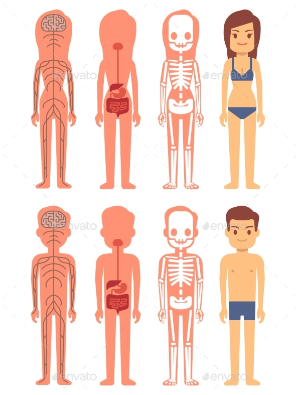 Male and Female Skeleton, Digestive and Nervous - Miscellaneous Vectors