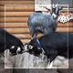 House Goats - VideoHive Item for Sale