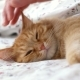 Cute Ginger Cat Lying in Bed Men Strokes Fluffy Pet It Purrs - VideoHive Item for Sale