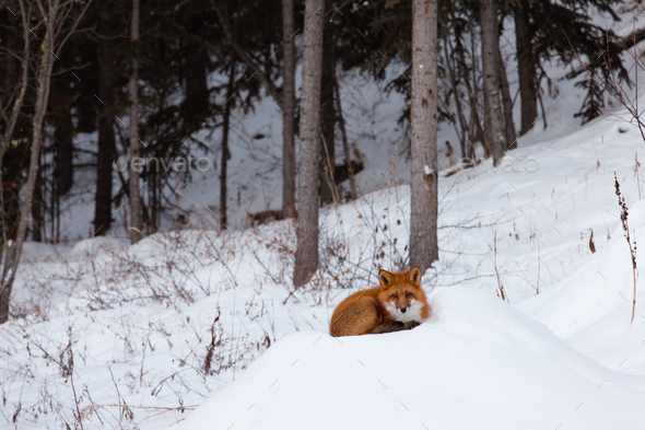 Red fox resting spot in winter snow forest - Stock Photo - Images