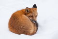 Young Red Fox genus Vulpes napping curled - PhotoDune Item for Sale