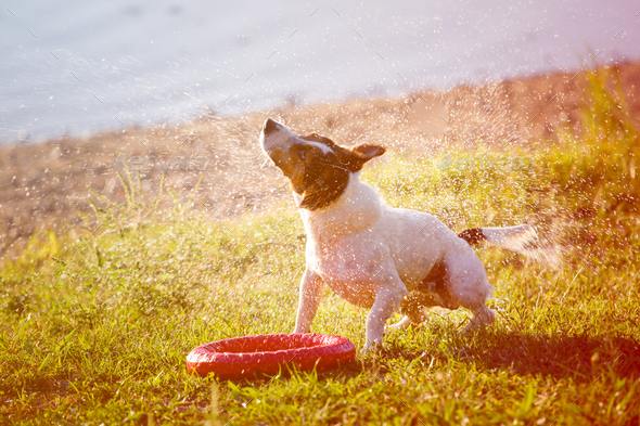 Dog shaking down from drops - Stock Photo - Images
