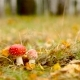 Poisonous Amanita Muscaria Mushrooms in Autumnal Forest Undergrowth  - VideoHive Item for Sale