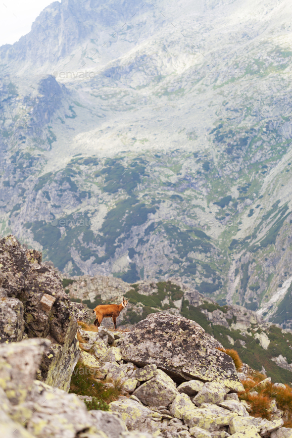 Tatra chamois in Hight Tatras - Stock Photo - Images