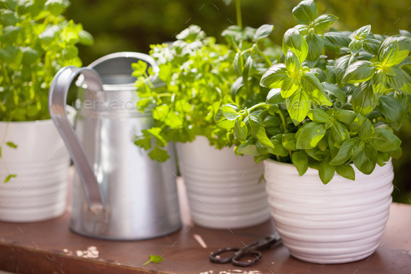 fresh basil parsley mint herbs in garden - Stock Photo - Images