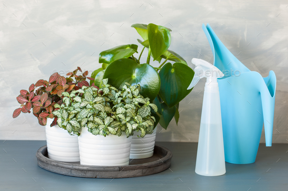 houseplant fittonia albivenis and peperomia in white pot - Stock Photo - Images