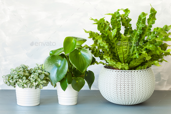 houseplant Asplenium nidus, peperomia and fittonia in flowerpot - Stock Photo - Images