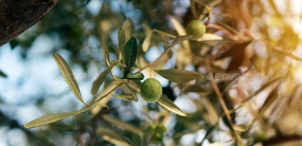 Ripe olive fruit on tree - Stock Photo - Images