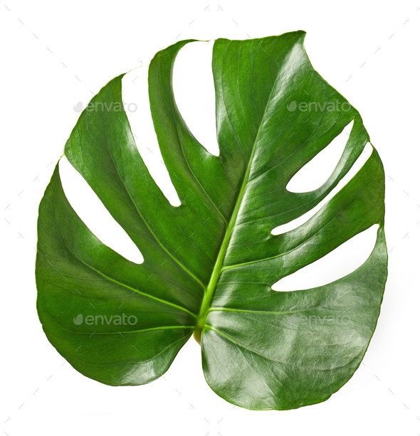 Tropical leaf of Monstera plant - Stock Photo - Images