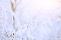 White Frost on tree twigs against rosy sun light - PhotoDune Item for Sale
