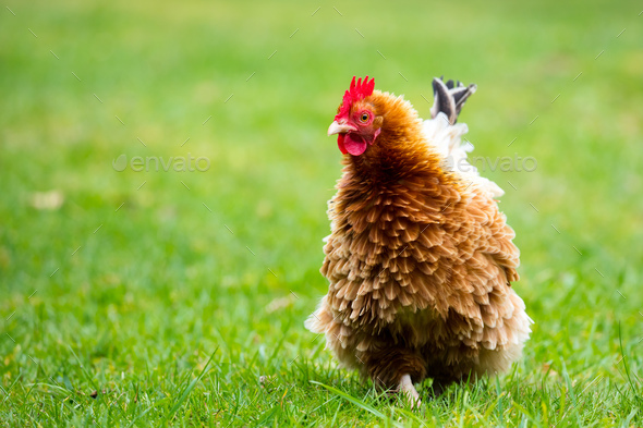 Brown Shaver Hen - Stock Photo - Images