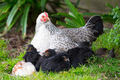 A Brood of Chickens - PhotoDune Item for Sale