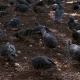 a Lot of Pigeons in the Park Pecking Grain - VideoHive Item for Sale