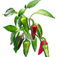 Fish chile pepper plant C. annuum, paths - PhotoDune Item for Sale