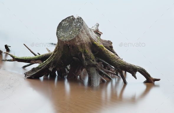 Stump and root of dead tree in river - Stock Photo - Images
