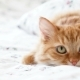 Cute Ginger Cat Lying in Bed Fluffy Pet Comfortably Settled To Sleep Under Blanket, Then Suddenly - VideoHive Item for Sale