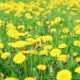 Dandelion Flowers in a Field Spring - VideoHive Item for Sale