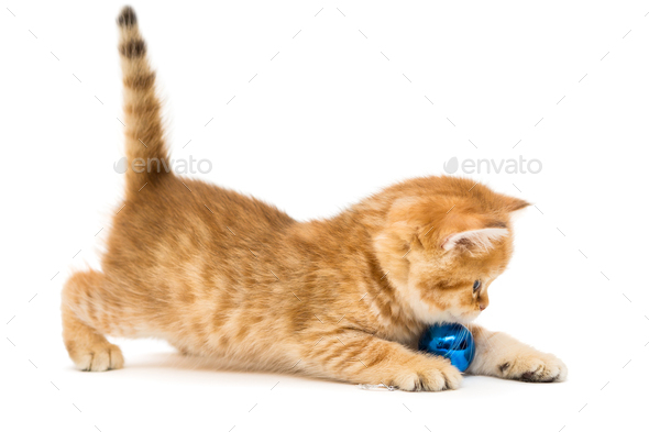 Little kitten plays a Christmas toy - Stock Photo - Images
