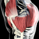 3D Deltoid Muscles - VideoHive Item for Sale