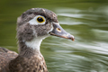 Wood Duck - Aix sponsa, closeup portrait of a female swimming in a pond.