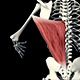 3D Back Muscles  - VideoHive Item for Sale