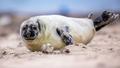 baby Common seal on beach