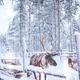 Reindeers in a winter landscape - PhotoDune Item for Sale