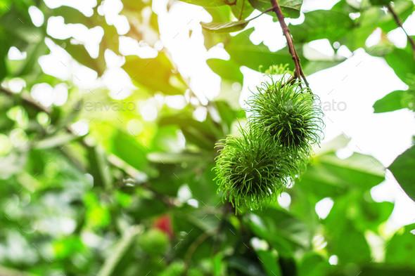 green rambutan on tree - Stock Photo - Images