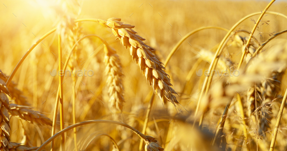 Wheat ears sunny day under blue sky - Stock Photo - Images