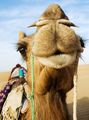 Happy camel smiling in the desert.