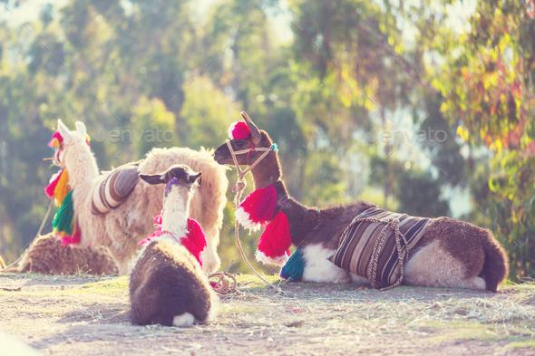 Llama - Stock Photo - Images