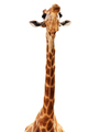 Giraffe - PhotoDune Item for Sale