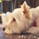 West Highland White Terrier Dog Waiting for Christmas - VideoHive Item for Sale