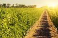 Green vineyards landscape under blue clear sky - PhotoDune Item for Sale
