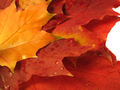 beautiful colored fall leaves with water drops - PhotoDune Item for Sale