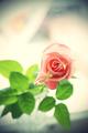 Beautiful pink rose - PhotoDune Item for Sale