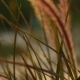 Beautiful Grass Ear Spikes at the Sunset - VideoHive Item for Sale