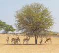 Springbok in the Shade of a Tree