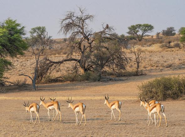 Female Springbok Herd - Stock Photo - Images