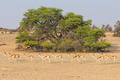 Female Springbok Herd