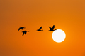 wild geese in sunset - PhotoDune Item for Sale