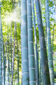 bamboo forest closeup - PhotoDune Item for Sale