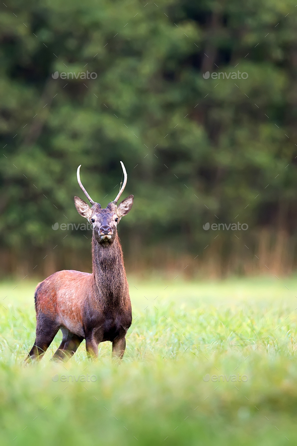 Red deer in the wild  - Stock Photo - Images