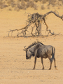 Solitary Blue Wildebeest