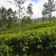 Tea Plantation in Nuwara Eliya - VideoHive Item for Sale