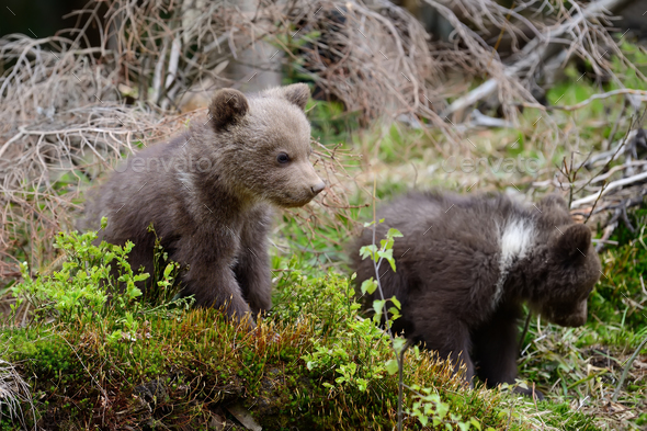 Young brown bear in the forest - Stock Photo - Images