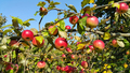 Branches of an apple-tree with ripe red apples - PhotoDune Item for Sale