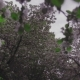 Flowering Crabapple Tree - VideoHive Item for Sale
