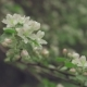 White Flowers on the Branches Apple Tree - VideoHive Item for Sale