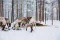 Reindeers in a winter forest farm in Lapland. Finland